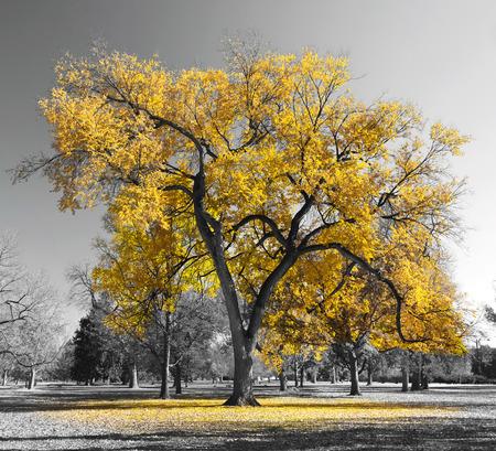 Grande albero giallo in un paesaggio in bianco e nero Archivio Fotografico - 37152029