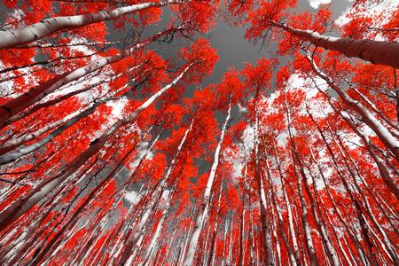 Wald von roten Bäumen auf einem schwarzen und weißen Hintergrund