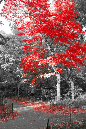 Colorful fall tree in black and white landscape - Central Park, New York City
