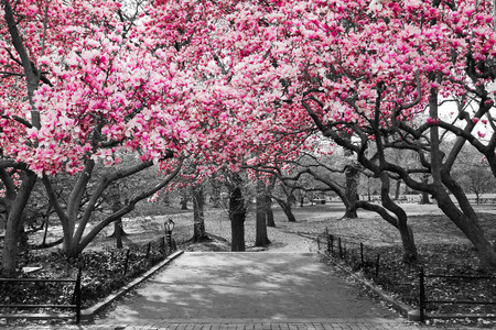 pink cherry: Pink Blossoms in Central Park Black and White Landscape, NEW YORK CITY