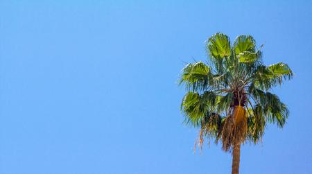 arboles frutales: Palmera tropical contra un fondo claro cielo azul sin nubes
