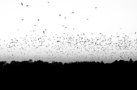 bandada pajaros: Bandada de pájaros volando por encima de los árboles en blanco y negro