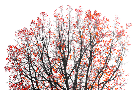 subconscious: Colorful Red Leaves on the branches of a Fall tree Stock Photo