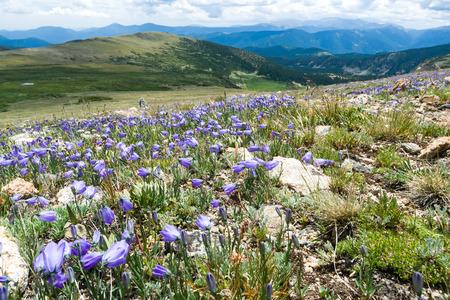 fiori di campo: Rocciose del Colorado Paesaggio di montagna con fiori colorati che fiorisce in primavera