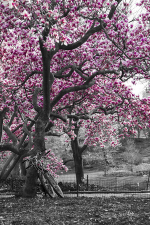 Bicycles under a pink cherry blossom tree in black and white Central Park landscape, New York City