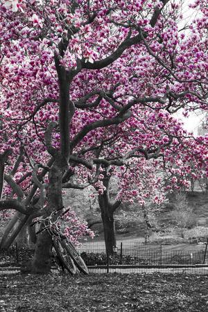 Le biciclette sotto un albero di ciliegio in fiore rosa in bianco e nero del paesaggio Central Park, New York City Archivio Fotografico - 58035181