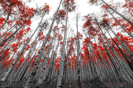 흑백 풍경에 붉은 잎 나무의 키 큰 숲