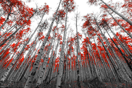 black tree: Tall forest of red leaf trees in black and white landscape