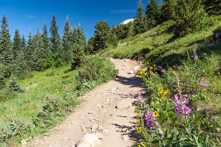 colorado rocky mountains: Hiking trail climbs through a field of wildflowers in the Colorado Rocky Mountains
