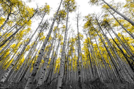 Tall bos van gouden espbomen in zwart-wit landschap