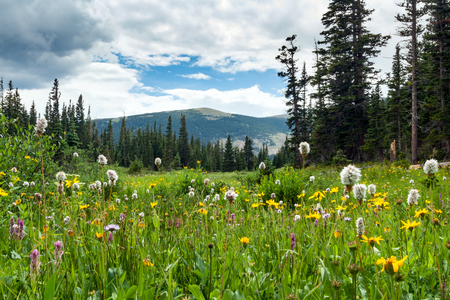 Colorful field of springtime flowers blooming in a Colorado Rocky Mountain landscape meadow