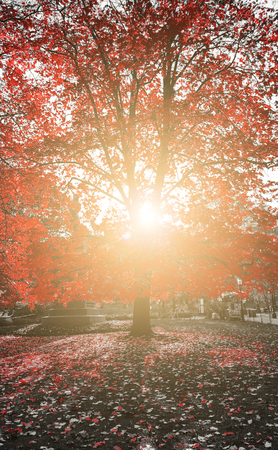 Sunlight shines through the red leaves of a fall tree in Central Park, New York City
