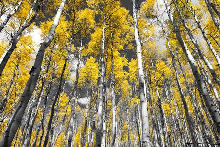 黒と白のコロラドロッキー山脈の風景の秋のアスペンの木の黄金の黄色の森 写真素材