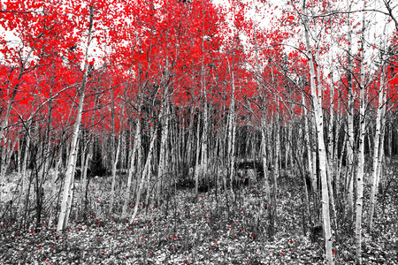 Red leaves on fall trees in a black and white forest landscape