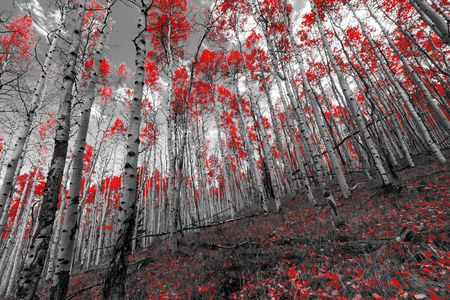Red forest trees on a mountain in Colorado black and white landscape Stock Photo