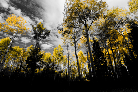 Canopy of golden yellow fall trees in black and white forest landscape