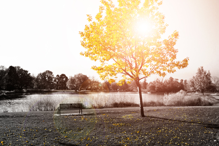 Sunlight shine on empty park bench under golden yellow tree in black and white landscape Stock Photo