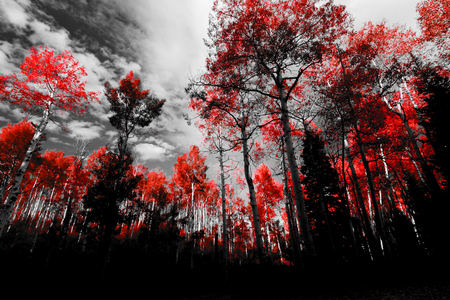 Canopy of red trees in black and white forest landscape Reklamní fotografie