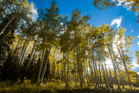 Sunlight shining through colorful forest of aspen trees in Colorado fall landscape