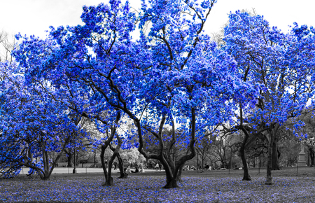 Blue trees in a surreal black and white landscape in Central Park New York City