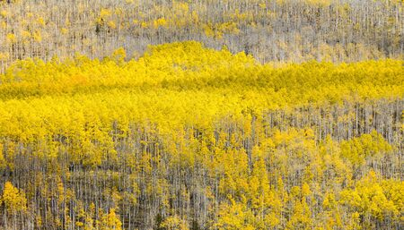 Thick forest of golden aspen trees covering a mountain in a Colorado create a colorful fall background texture 版權商用圖片