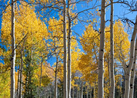 Autumn leaves changing colors in golden fall forest of aspen trees in the Colorado Rocky Mountains