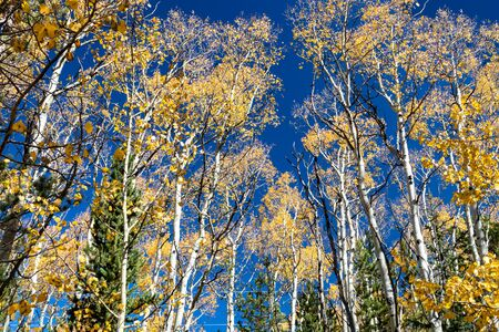 Canopy of golden fall aspen trees contrast against a clear blue sky background in colorful Colorado fall landscape scene