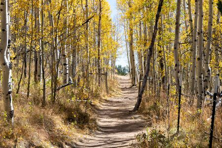 Dirt hiking trail winds through a golden fall aspen forest in the Colorado Rocky Mountains on a bright sunny fall day 版權商用圖片