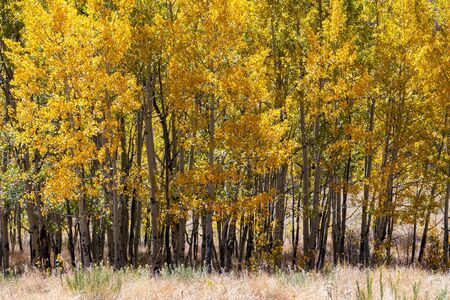 Colorful grove of aspen trees with yellow leaves in a Colorado mountain landscape scene