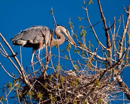 Great Blue Heron motherhood