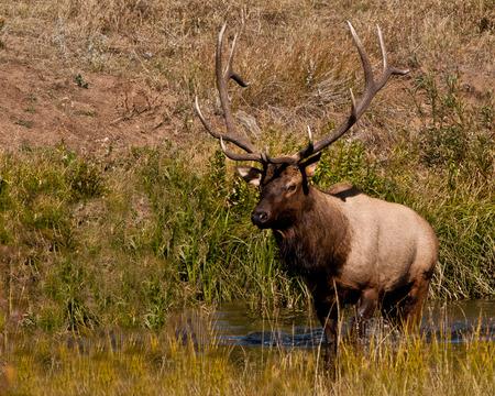 elk point: 6 point bull elk walking through water