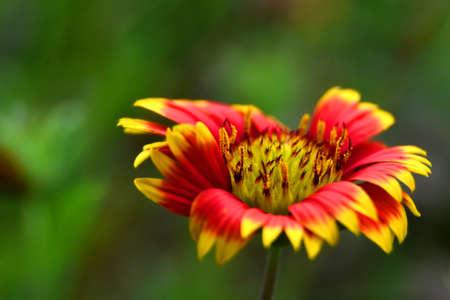 Flower Gaillardia Pulchella Autumn Sensation At Kolkata West Bengal India