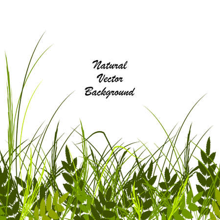 sedge: Vector illustration with a beautiful green grass and leaves isolated on white background. Illustration