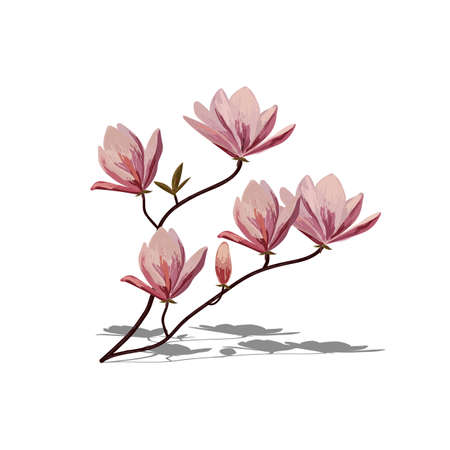 magnolia: Blossom brunch of pink magnolia isolated on white background.