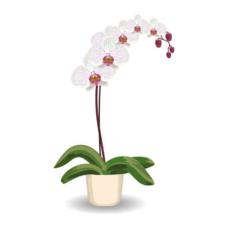 indoor bud: White orchid flowerpot on a white background. Vector illustration.