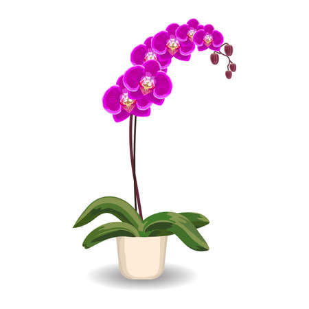 indoor bud: Purple orchid flowerpot on a white background. Vector illustration.