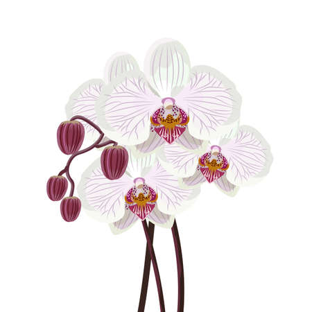 indoor bud: Purple orchid branch on a white background. Vector illustration.
