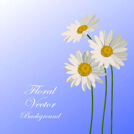 yellow daisy: Beautiful white daisies on blue background. Floral vector background. Illustration