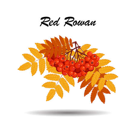 Autumn branch of rowan leaves and berries on white background for use in your design.