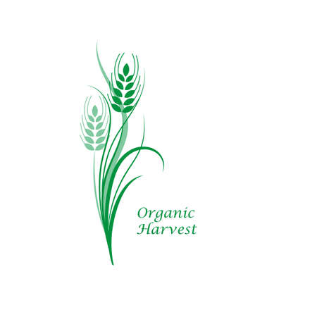 Green wheat spikelet on a white isolated background. Vector illustration  イラスト・ベクター素材