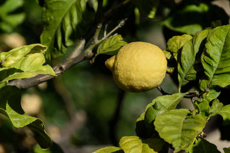 lemon among the leaves hanging on a branch of a fruit tree, Liguria, italy