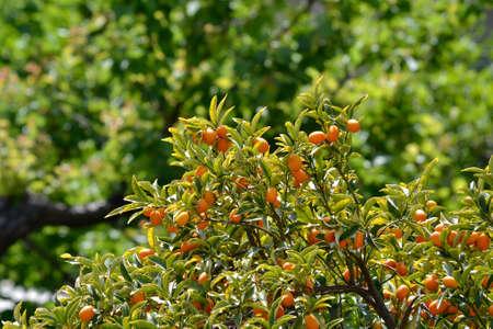 bergamot among the leaves of a fruit tree