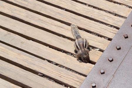 Kleine eekhoorn op zoek naar verborgen voedsel op een balkon van een Fuerteventura-vulkaan, Canarische Eilanden