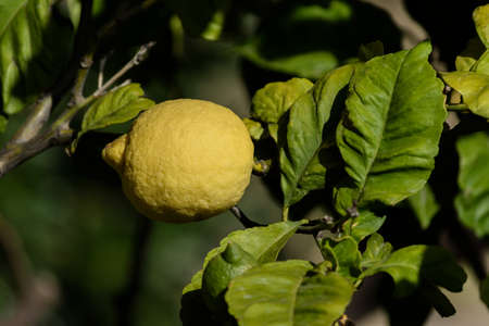 maleza: lemon among the leaves hanging on a branch of a fruit tree, Liguria, italy