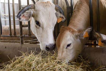 a cow and its veal, piemontese race, eating together in a fence, in a stable Stock Photo