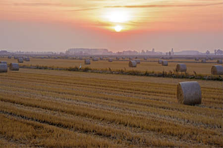 stretching of hay bales in a wheat field, at sunset, on an ardent day in the late summer Stock Photo