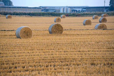 cylindrical hay bales on a freshly plowed wheat field Banque d'images - 95777069