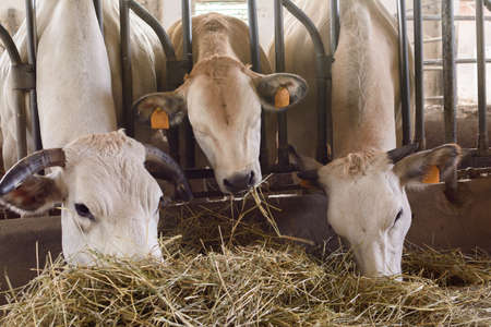 cattle that eat hay in a stable Stock Photo