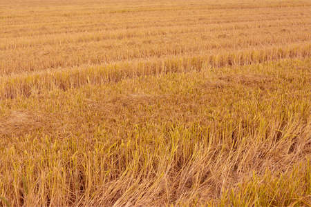 agricultural field to plow, spread of rice for harvesting Banque d'images - 97005090