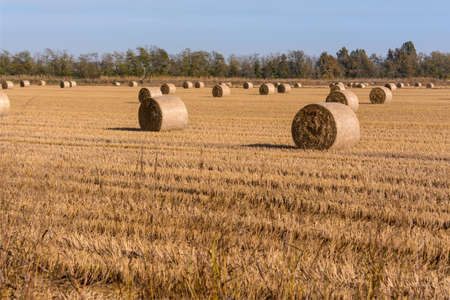 wheat field on a late-summer day, with many hay bales illuminated and sun-dried